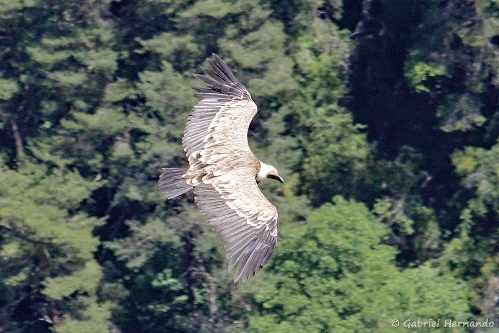Le Vautour fauve en plein vol - Gyps fulvus (Bélvédère de la Dent d'Aire, Gorges du Verdon, juin 2019)