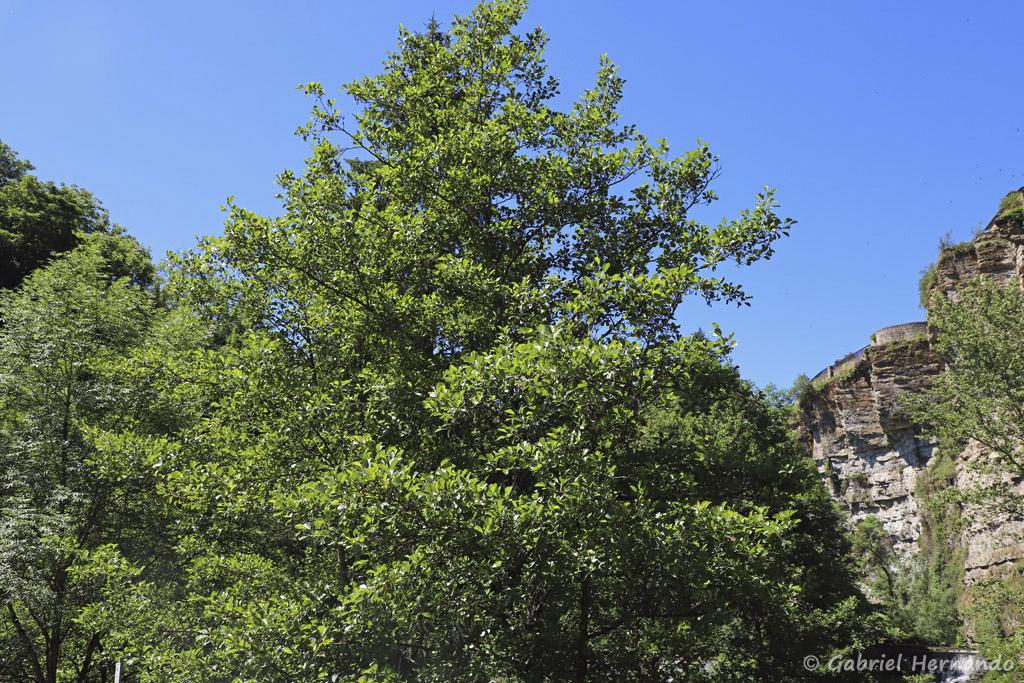 Alnus glutinosa - Aulne glutineux, aulne noir ou aulne poisseux (Bozouls, Aveyron, juillet 2021)
