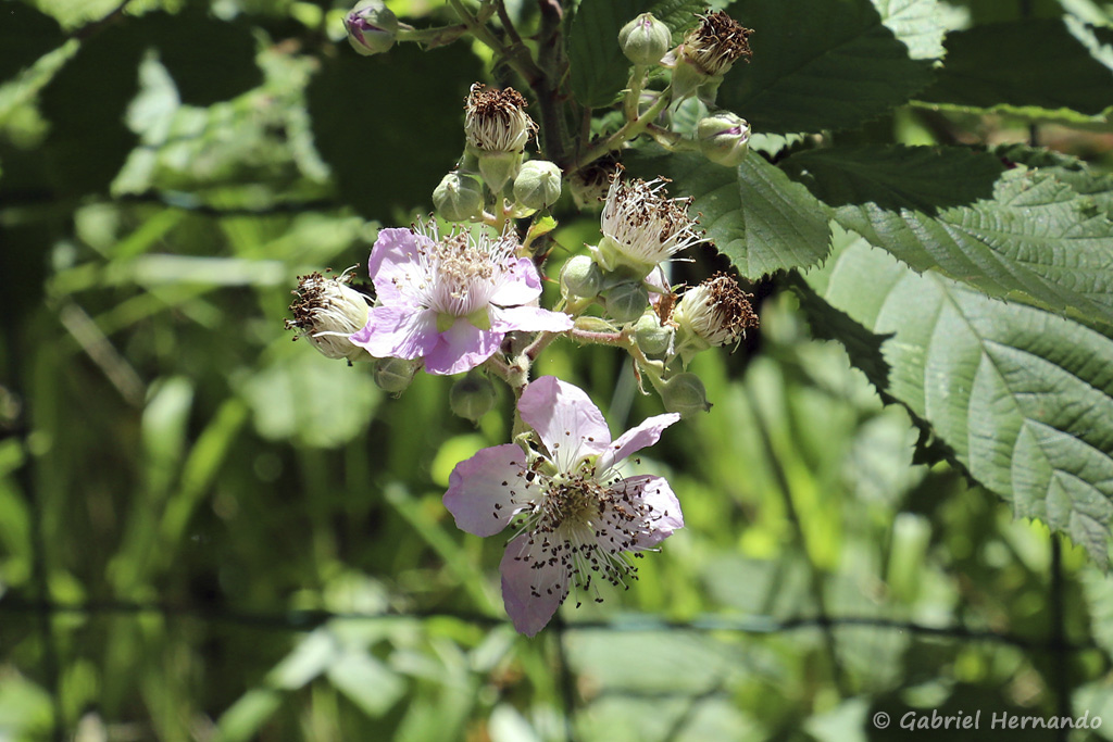 Rubus fruticosus - Ronce commune (Trou de Bozouls, Aveyron, juillet 2021)