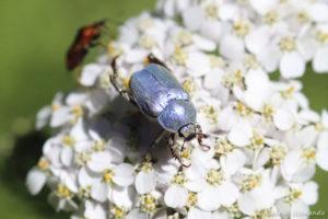 Hoplia coerulea -Hoplie bleue, une espèce de coléoptères de la famille des scarabéidés (Trou de Bozouls, Aveyron, juillet 2021)