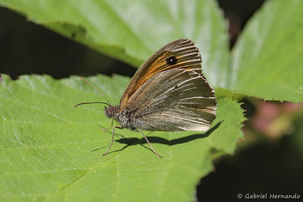 Papillon non identifié (Trou de Bozouls, Aveyron, juillet 2021)