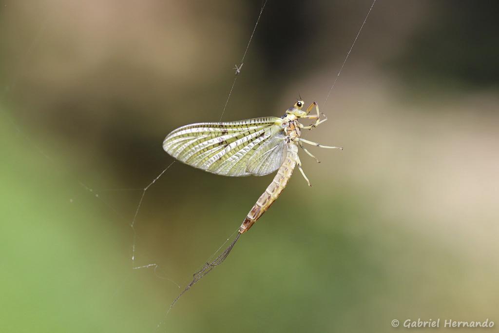 Ephemera danica - Ephémère prise dans une toile d'araignée (Trou de Bozouls, Aveyron, juillet 2021)