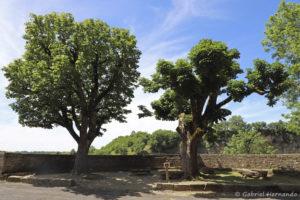 Aesculus hippocastanum - Marronnier d'Inde sur le belvédère, devant l'église Sainte-Fauste (Bozouls, Aveyron, juillet 2021)